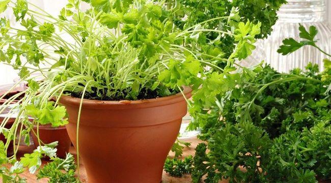 11 Пряних трав, які можна вирощувати вдома