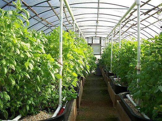Що вирощувати в теплиці?