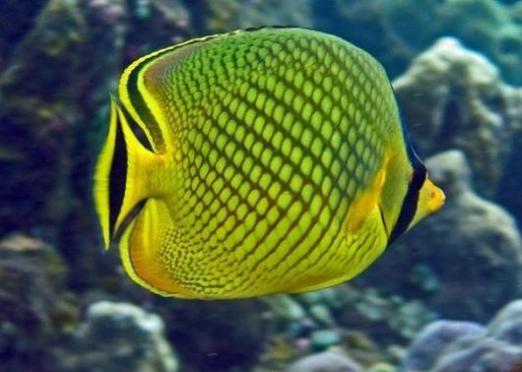 До чого вагітної сниться риба?