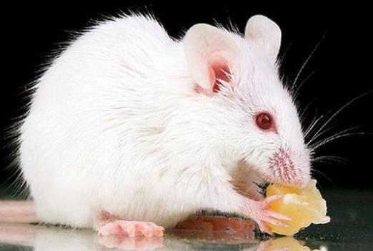 До чого сниться біла миша?