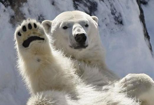 До чого сниться білий ведмідь?