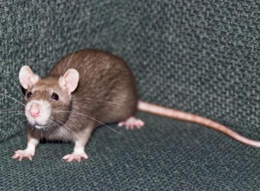 До чого сниться велика щур?