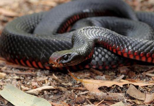 До чого сниться чорна змія?