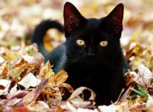 До чого сниться чорний кіт?