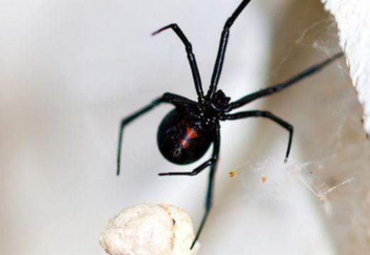 До чого сниться чорний павук?