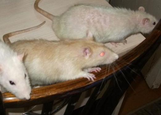 До чого сниться багато мишей?