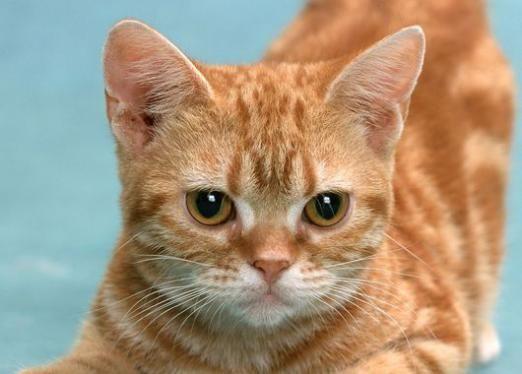 До чого сниться рудий кошеня?
