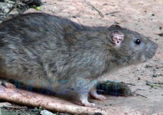 До чого сниться сірий щур?