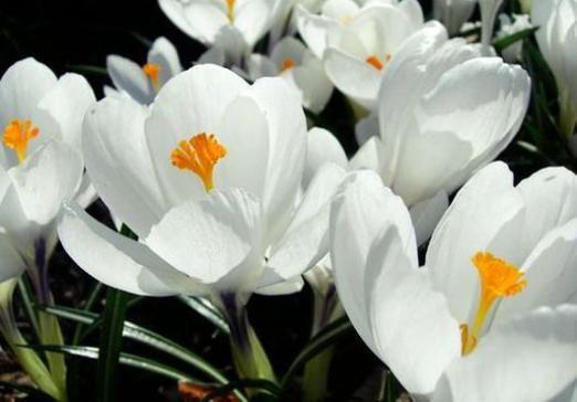 До чого сняться білі квіти?
