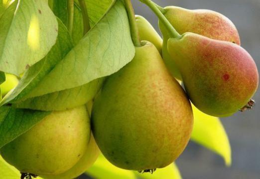 До чого сняться груші?