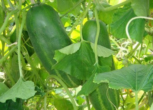 До чого сняться свіжі огірки?