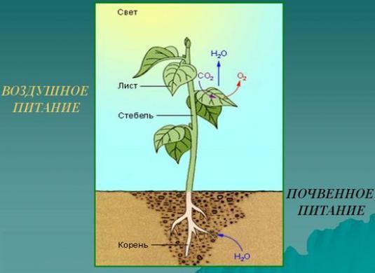 Як харчуються рослини?