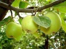 Як правильно посадити і доглядати за яблунею