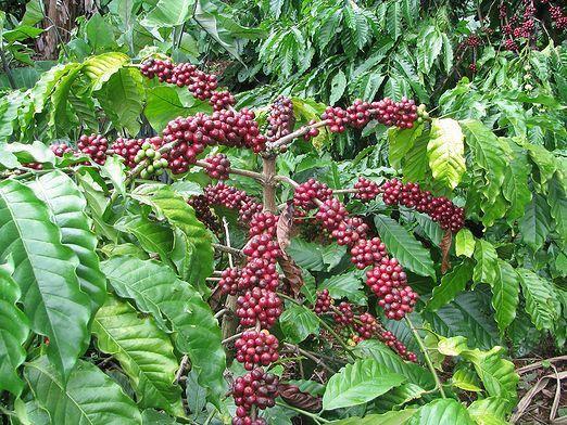 Як вирощують каву?