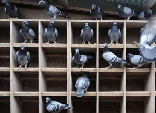 Як вирощувати голубів?