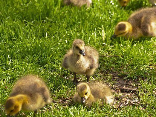 Як вирощувати гусей?