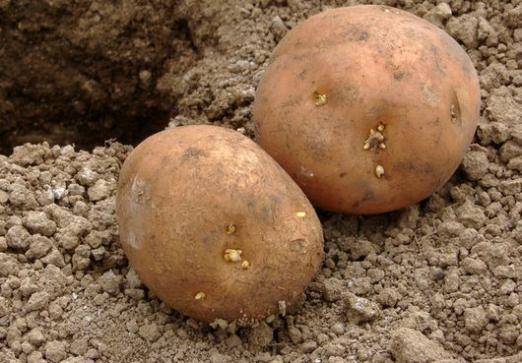 Як вирощувати картоплю?