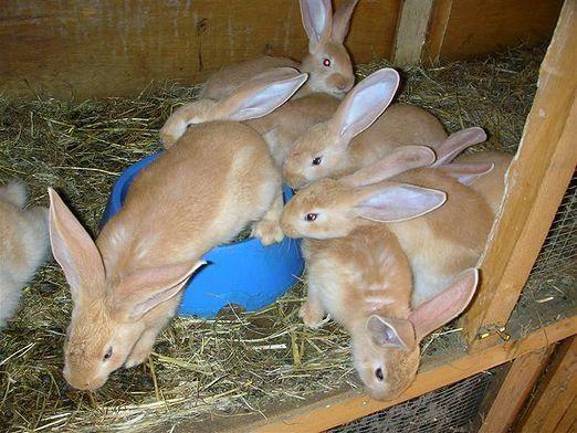 Як вирощувати кролів?