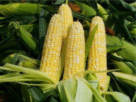Як вирощувати кукурудзу?