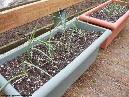 Як вирощувати цибулю?