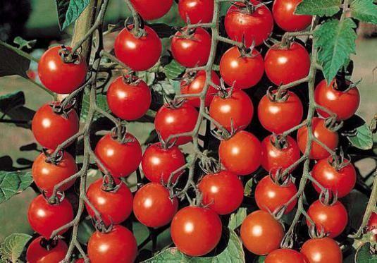 Як вирощувати помідори?