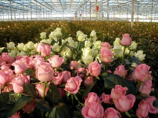 Як вирощувати троянди?