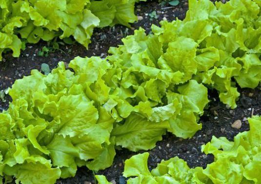 Як вирощувати салат?