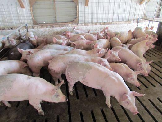 Як вирощувати свиней?
