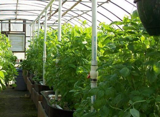Як вирощувати в теплиці?