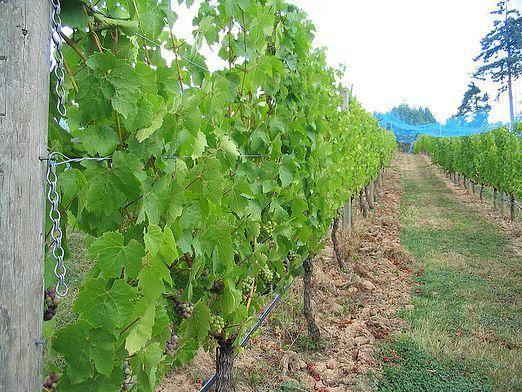 Як вирощувати виноград?