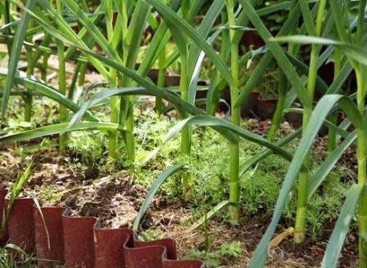 Як виростити цибулю-порей?