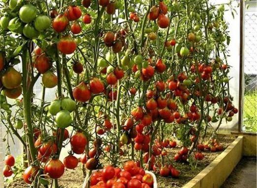 Як виростити помідори в теплиці?