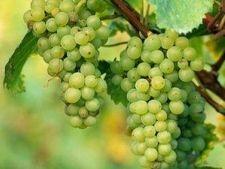 Як виростити виноград в середній смузі