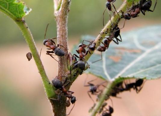Як вивести мурах з городу?