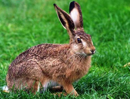 Полювання на зайця: особливості вибору зброї