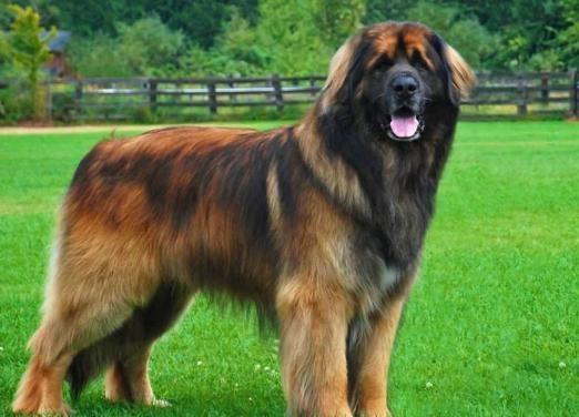 Особливості догляду за собаками великих порід