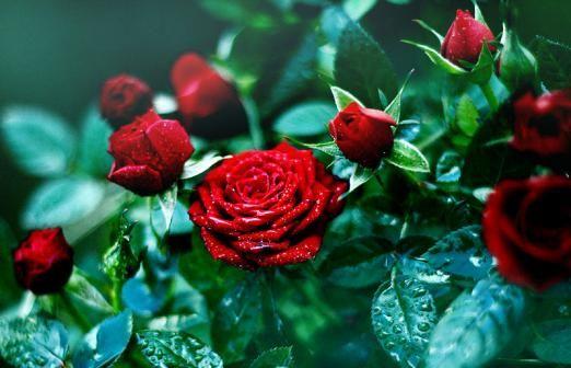 Поради щодо вибору троянд